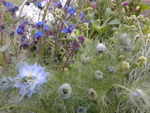 nigella and anchusa