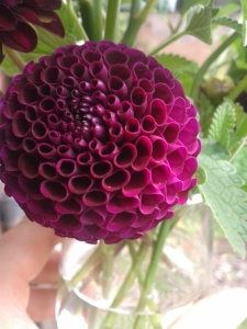 dahlia 'rocco' begins to flower