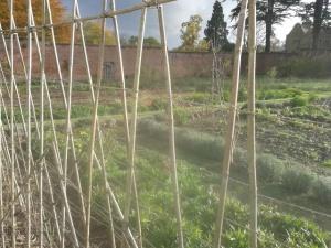 empty sweet pea canes