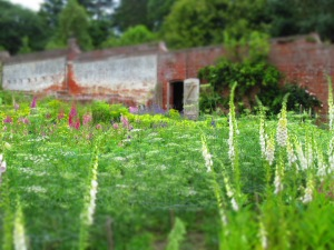 foxgloves and ammi