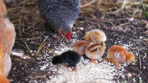 teeny tiny chicks