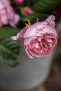 The Alnwick Rose, by Julia Stanley